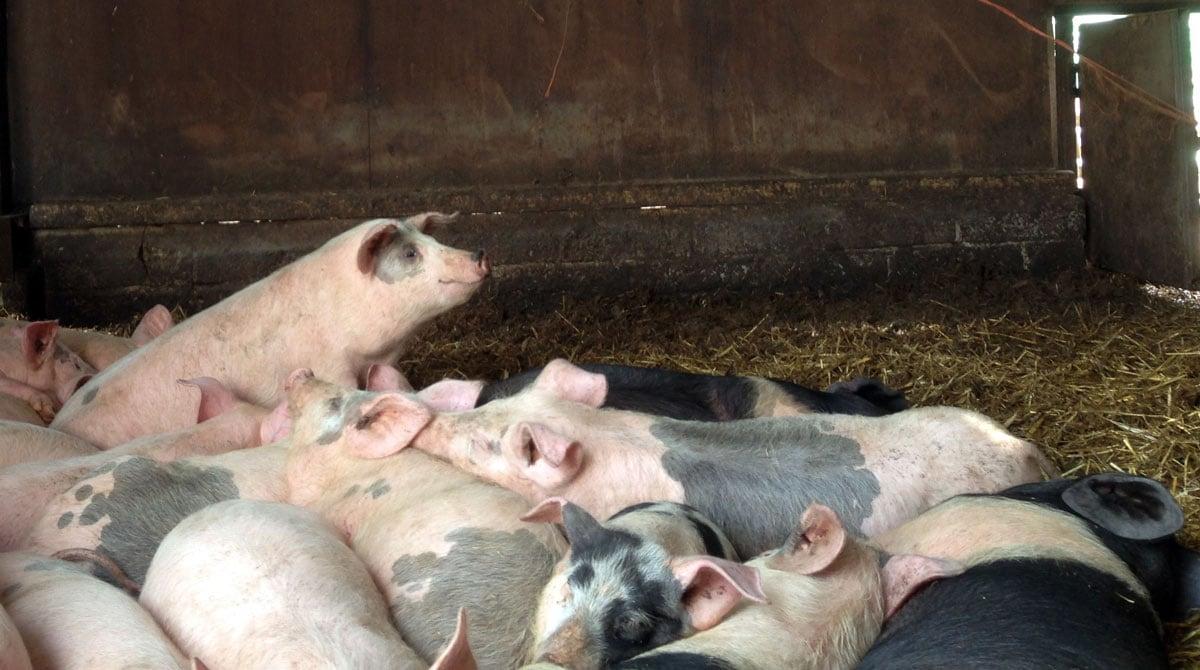 Broom Hill Farm Piglets